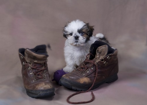 Cute Puppy in Shoes