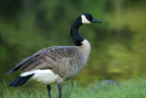 Every year the goose looks past its own sphere and globally south and journeys there. This act of looking past their sphere spares them a harsh winter.