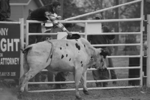 Once a rodeo bull is set to be released he is fully committed to the task at hand and gives all he has.
