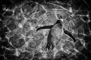 penguin_swimming